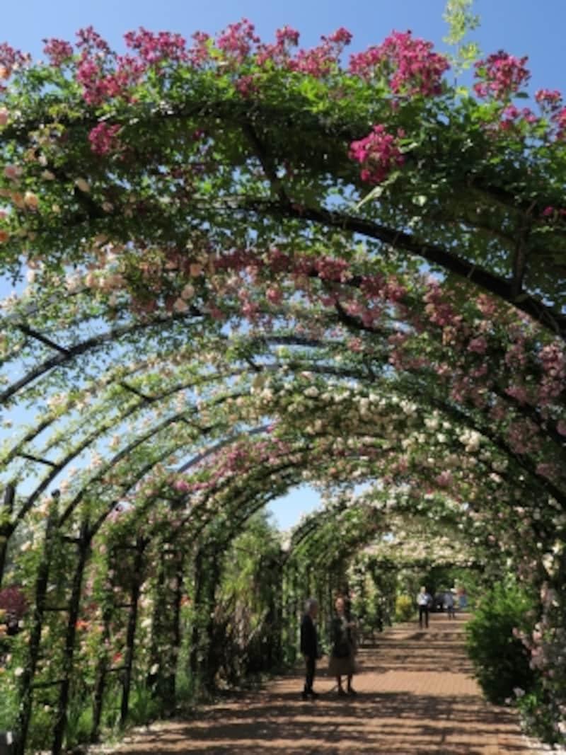 全長約50mのローズアーチ。バラ咲く時期は圧巻