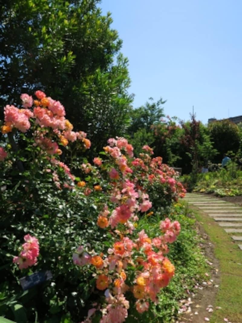 広い芝生をぐるりと囲む「Rose&ShrubGarden~ローズ&シュラブガーデン」