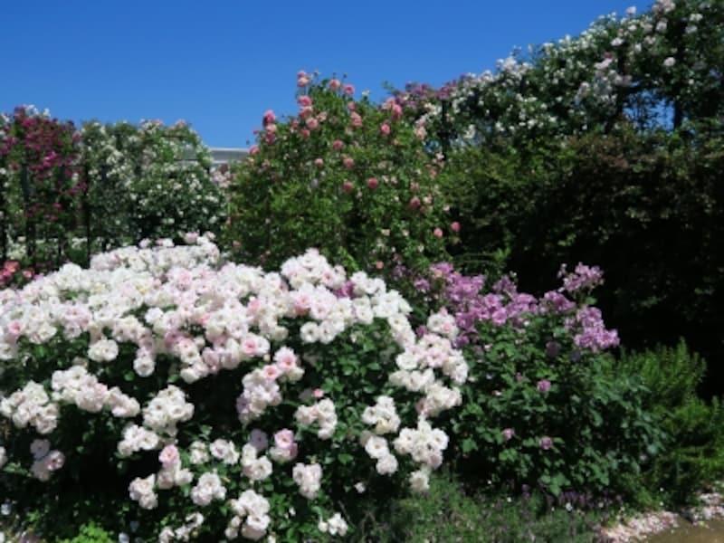 バラとハーブの香りが楽しめる「Rose&HerbGarden~ローズ&ハーブガーデン」