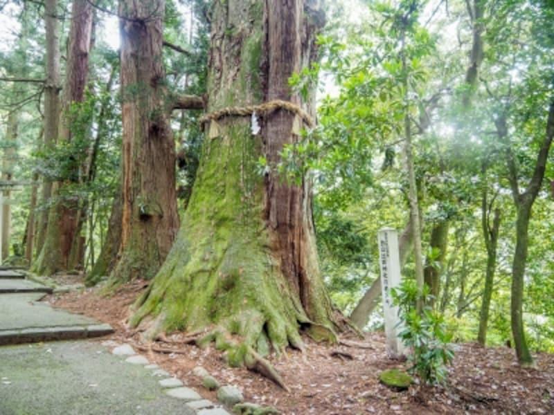 指定天然記念物の老杉@白山比め神社
