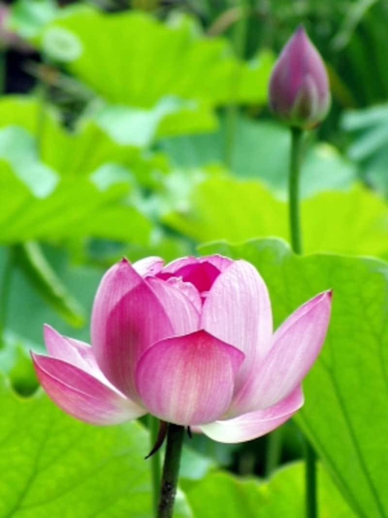 光明寺に咲くハスの花