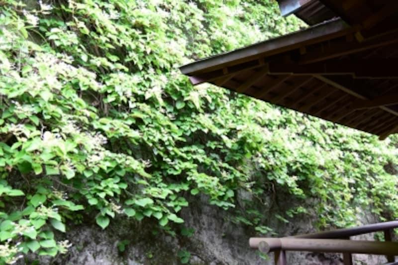 本堂裏手の岩壁に咲くイワガラミ(2015年5月29日撮影)