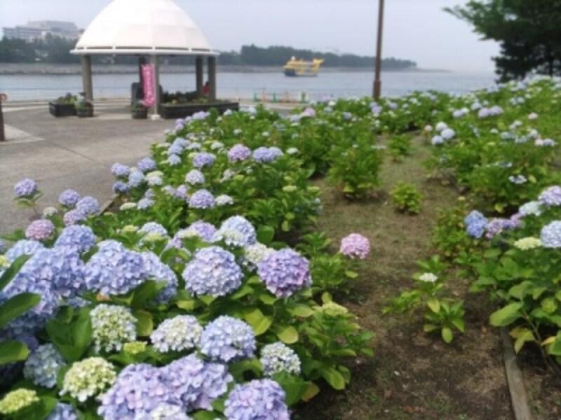 八景島のあじさい(2)/あじさいの向こうに海が広がります