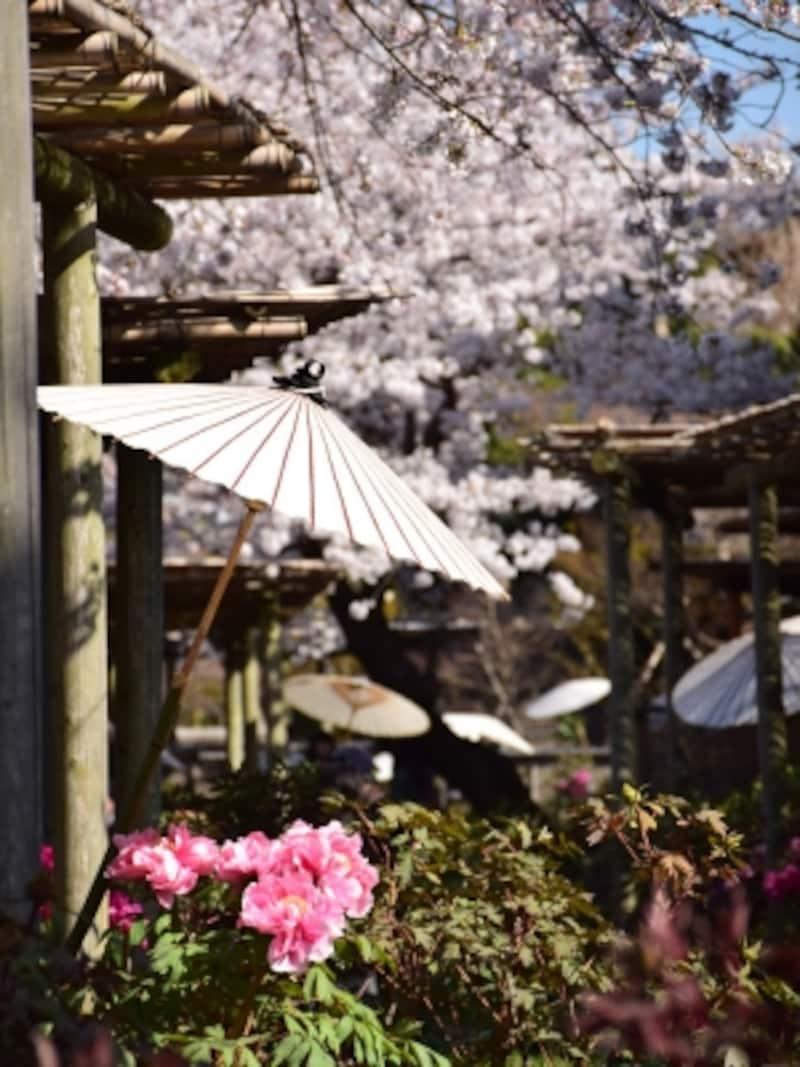 源氏池のほとりに咲く、桜と牡丹