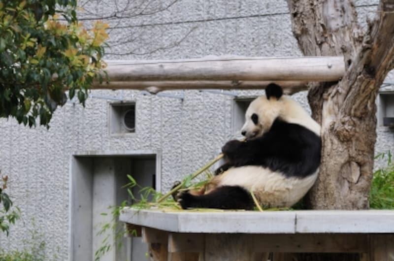 屋外undefinedパンダ