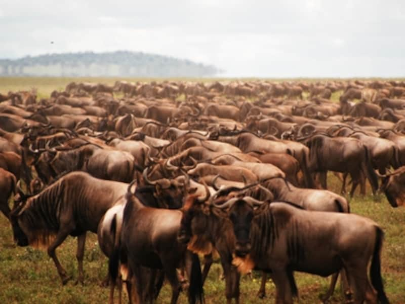 大地を覆うヌー。総数は数百万ともいわれる。シマウマやガゼル、エランドなどの草食動物も一緒に移動する©リゾートアンドサファリ