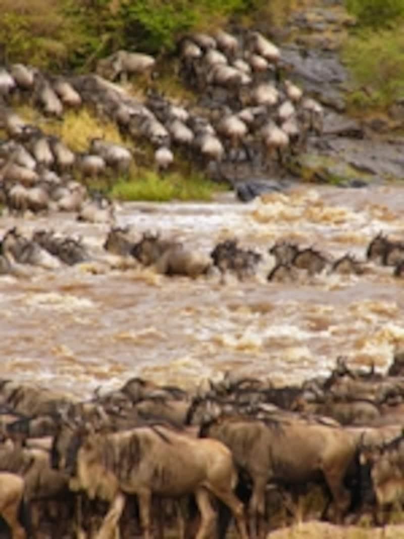 マラ川を集団で渡るヌー。1頭の勇気あるヌーのダイブによって、ミグレーションがはじまる