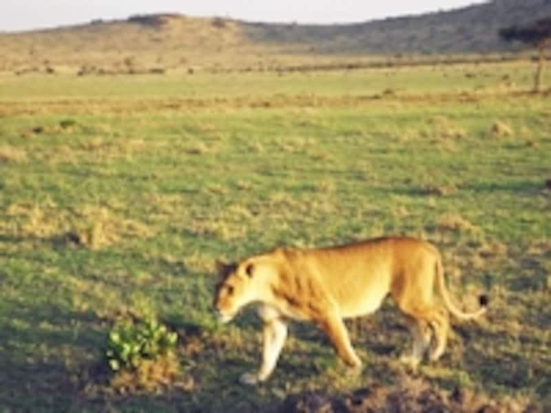 獲物を探すライオンのメス