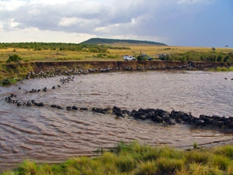1列で川を渡るヌー。泳いでいるように見えるが、実はヌーは泳げない。たとえワニやライオンがいなくても、命がけであることに代わりはない