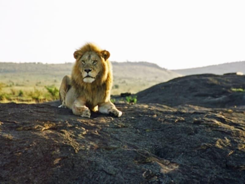 コピエから周囲を眺めるライオン。セレンゲティには所々にコピエと呼ばれる巨大な岩が転がっている