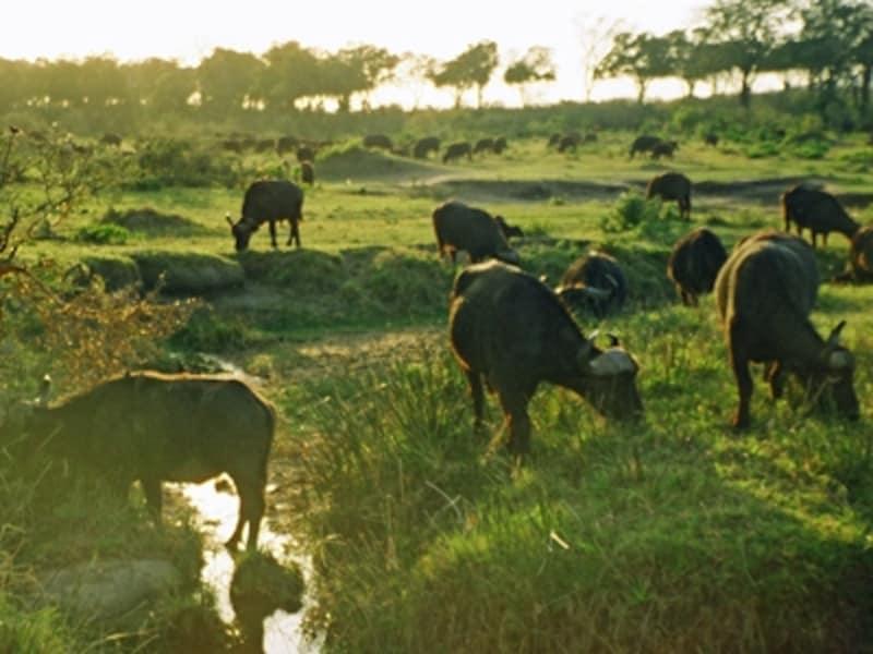 朝もやの中のバッファロー。バッファローをはじめとする草食動物は臆病ゆえ近寄るとしばしば盲目的に突っ込んでくるという。そのため肉食動物以上に危険とも
