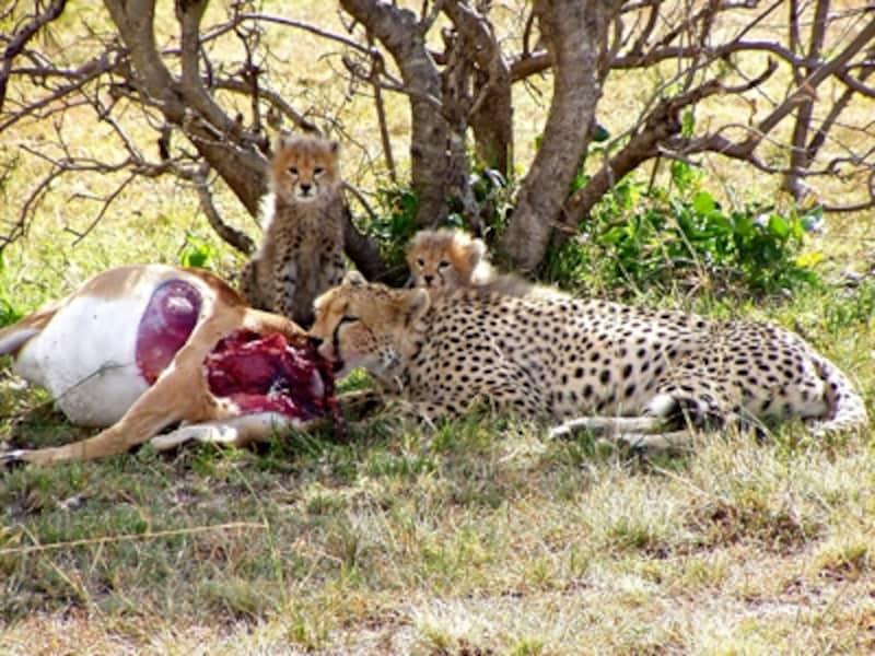 インパラを食べるチーターの親子。地上最速の健脚を活かして50%といわれる高い成功率を誇る狩りの名手©リゾートアンドサファリ