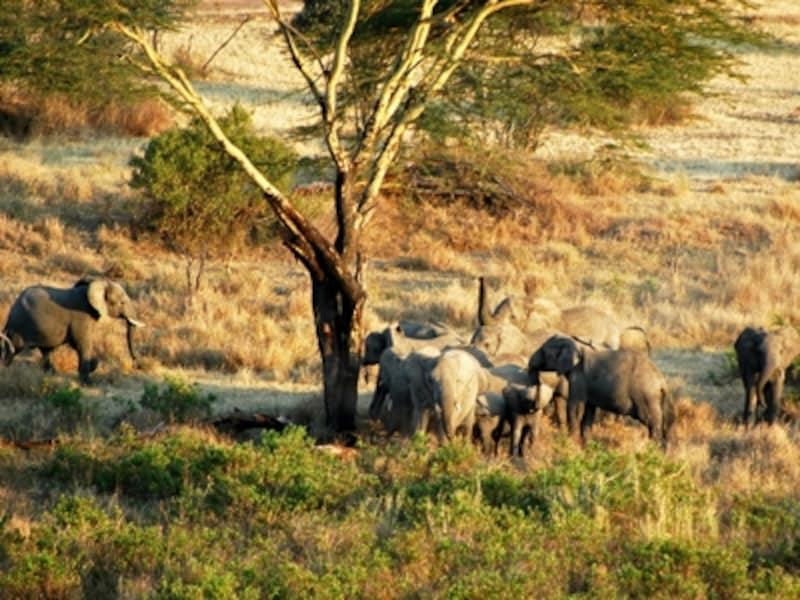 ゾウたちはいつも数家族が合わさったグループで移動を続ける©リゾートアンドサファリ