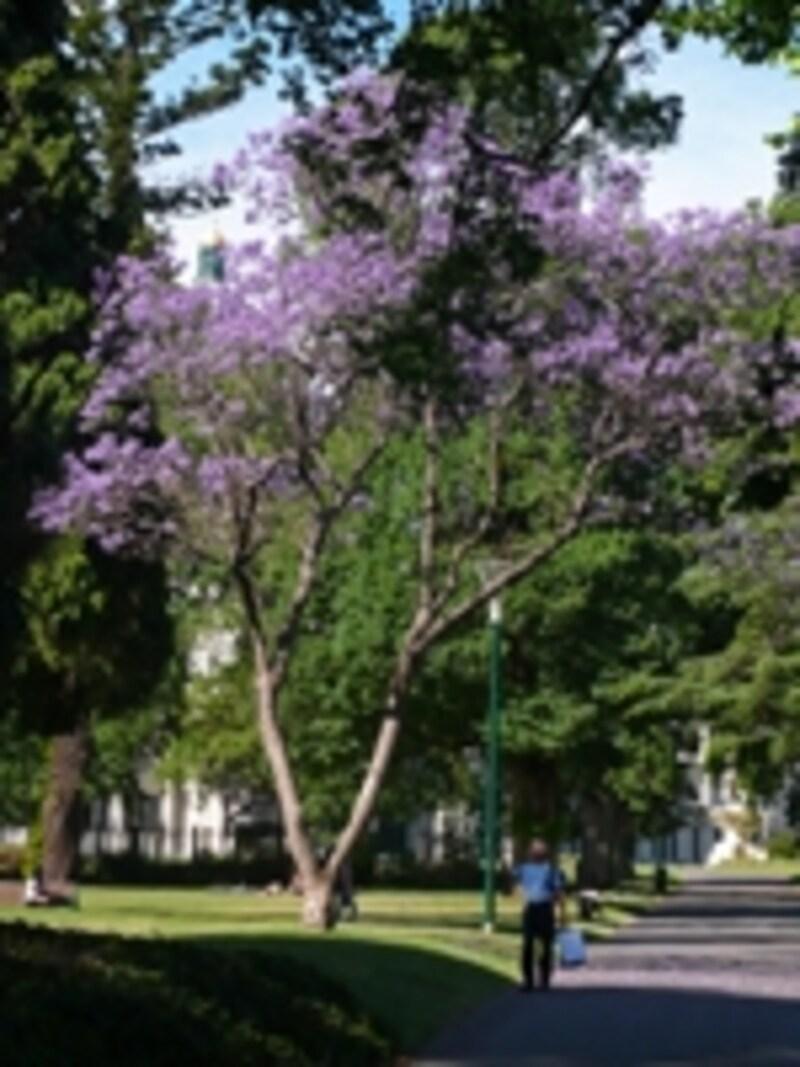 紫の花が美しい庭園のジャカランタ