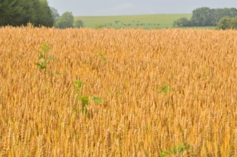 北海道十勝・音更町の自然栽培農家、中川泰一さんの小麦畑。
