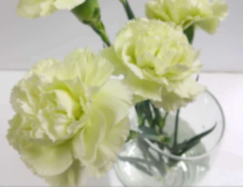 カーネーション生花
