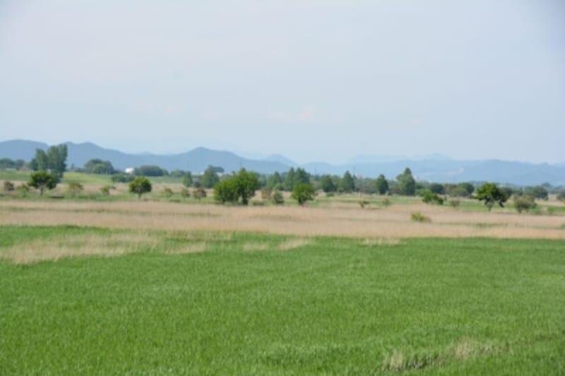 調整池を覆うヨシ原