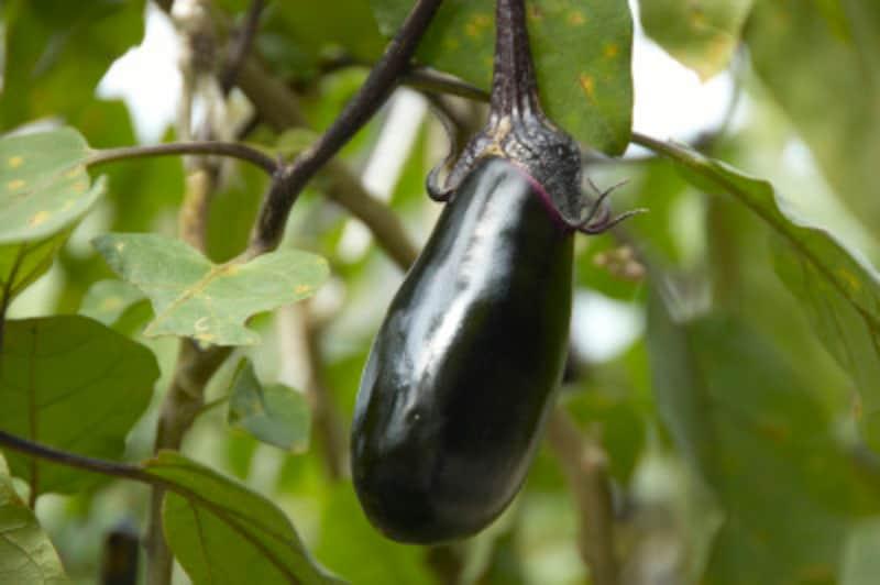 風通し良く、ナスの実が快適に生長できるような環境をつくってあげるのがコツ。