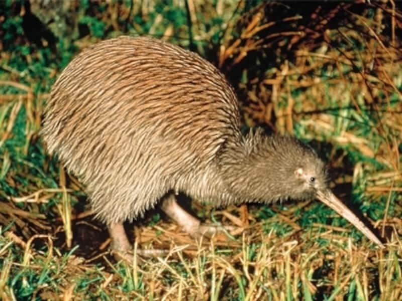 ニュージーランドの国鳥キーウィは自然そのままの環境で飼育されている