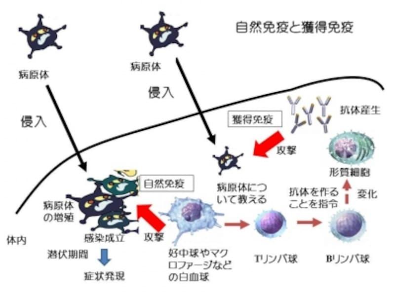 免疫システムを表現した図