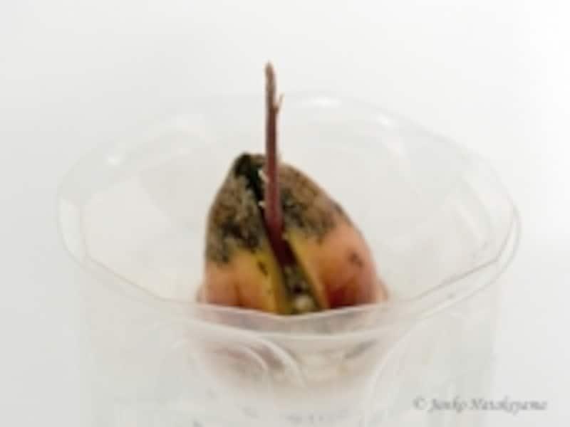 アボカドの育て方 発芽