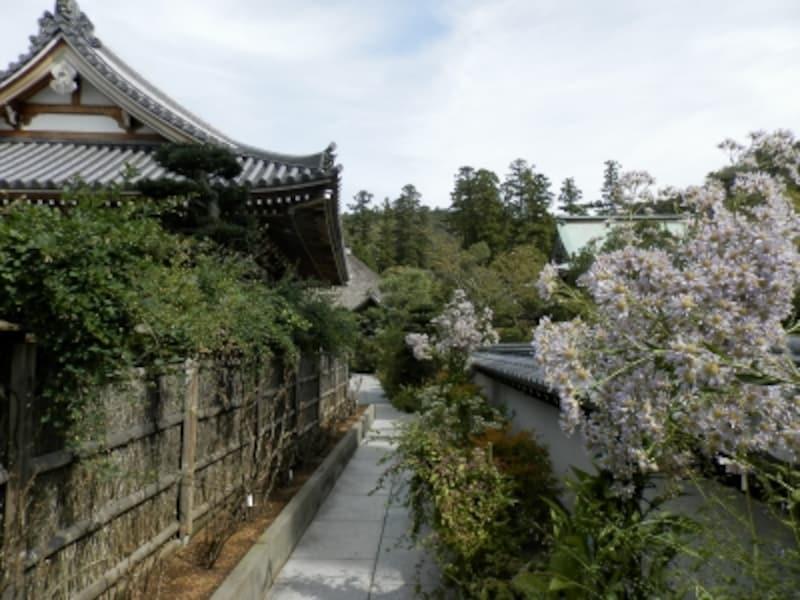 シオンの花咲く松嶺院