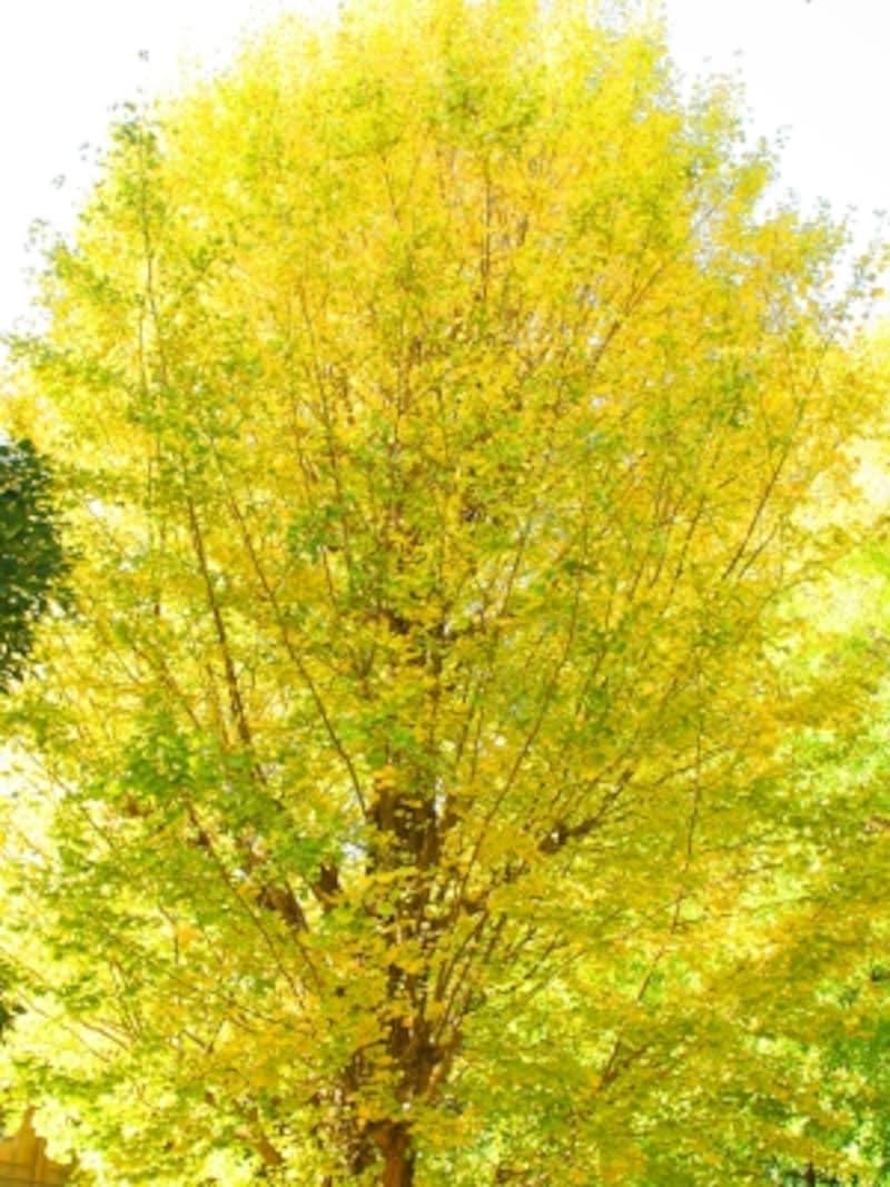 白旗神社のイチョウの木