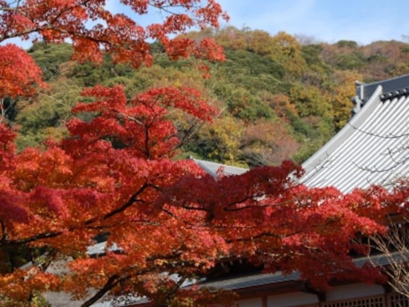 北鎌倉の円覚寺境内の紅葉