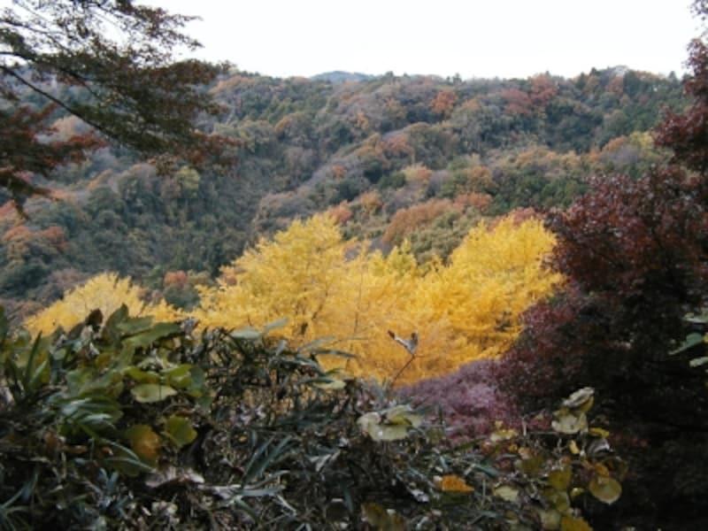 山の一部分が黄色く染まっている。目指す「獅子舞の谷」だ!