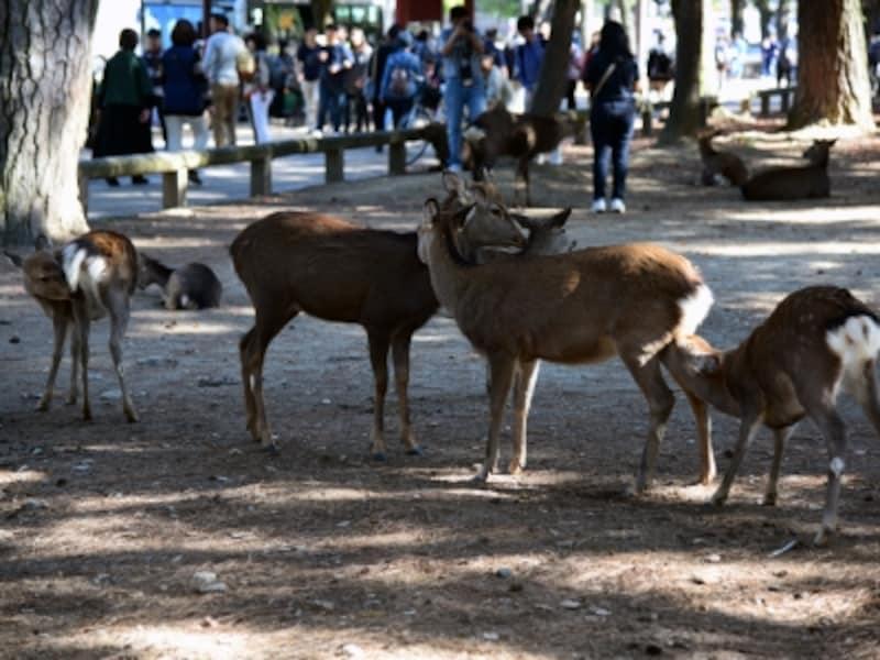 奈良公園を悠々と歩きまわる鹿たち