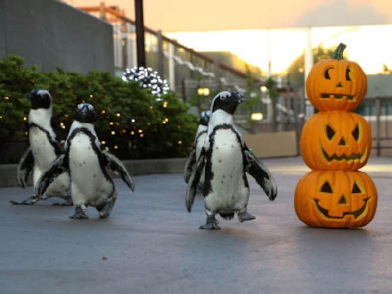 「ふれあいラグーン」では、ケープペンギンたちがハロウィンで装飾をされたルートを大行進(画像提供:横浜・八景島シーパラダイス)