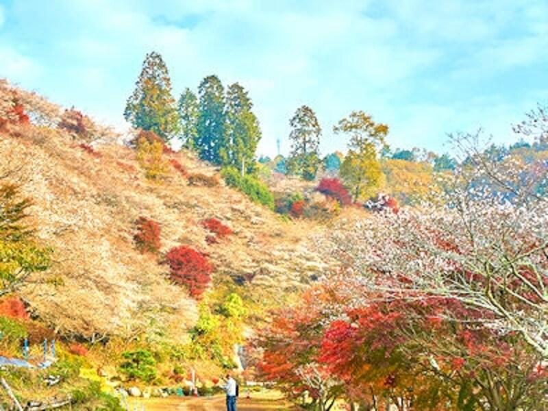 紅葉と桜が一緒に見頃!川見四季桜の里