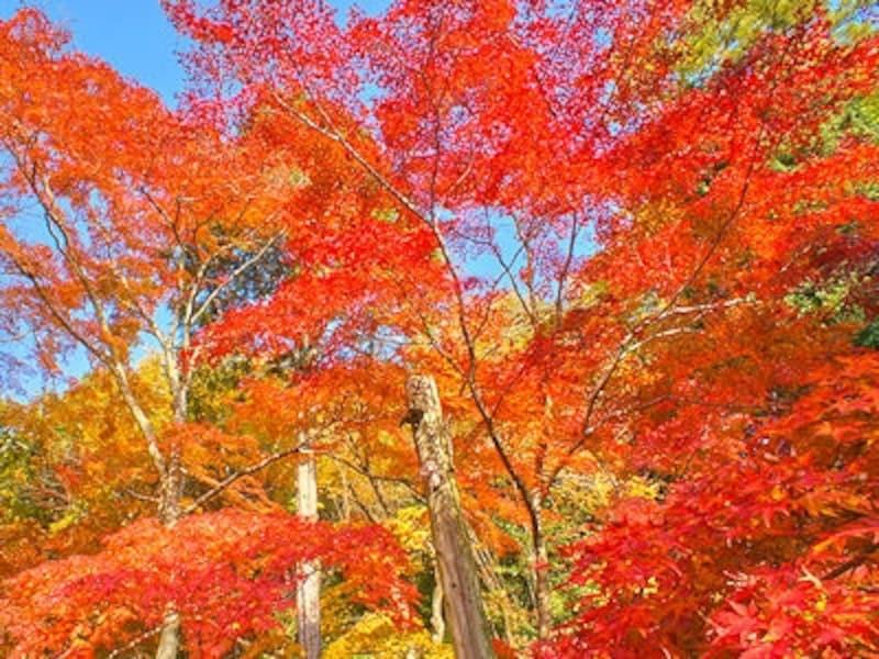 昼間の曽木公園の紅葉