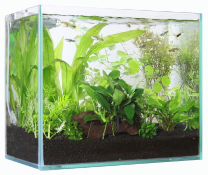 熱帯魚の産卵ケースへの隔離時期