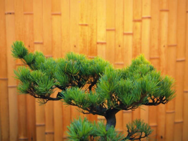 赤松・黒松盆栽の秋に欠かせないお手入れ