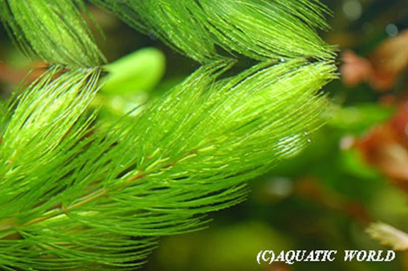 マツモ Ceratophyllum demersum