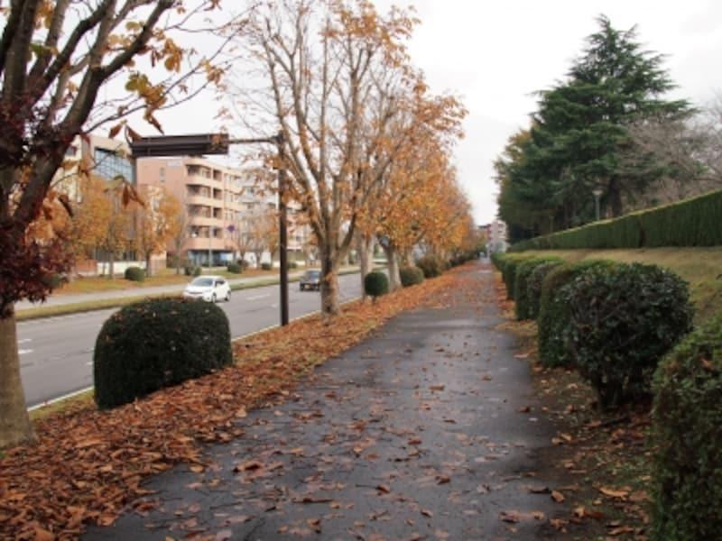 街路樹のトチノキが色づき、散り始めている