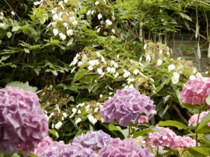 6月にはアジサイが美しく咲きます。6月にはアジサイが美しく咲きます。白く見えるのがイワガラミ