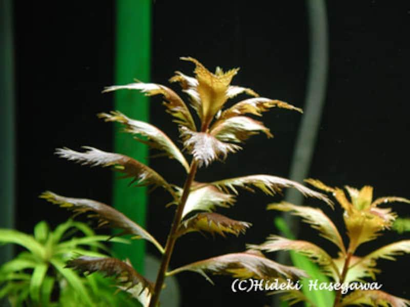 プロセルピナカ・パルストリス Proserpinaca palustris