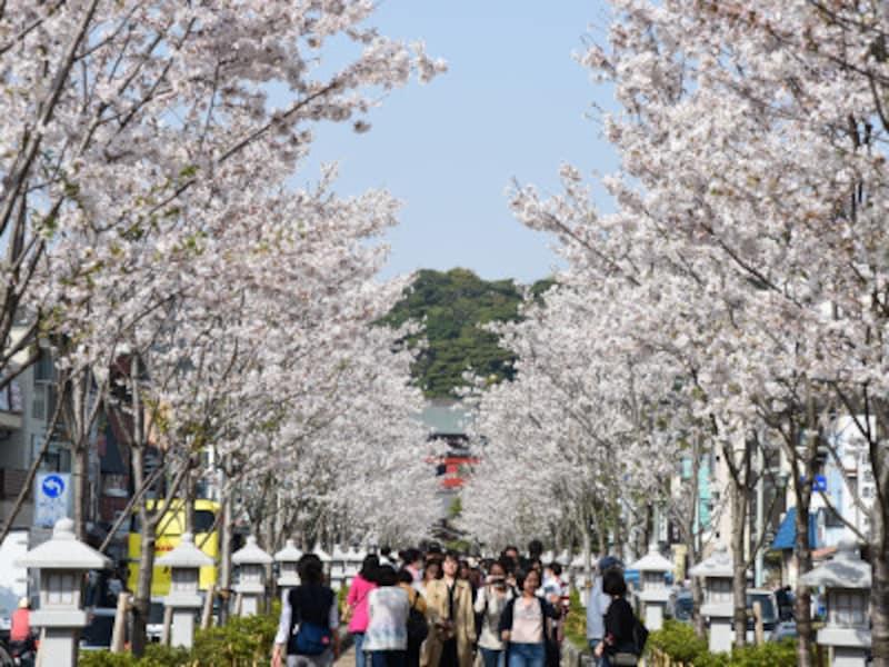 段葛の桜。2016年春には、段葛の桜並木の植替え工事が完了し、以後は毎年、若木が見事に花を咲かせています
