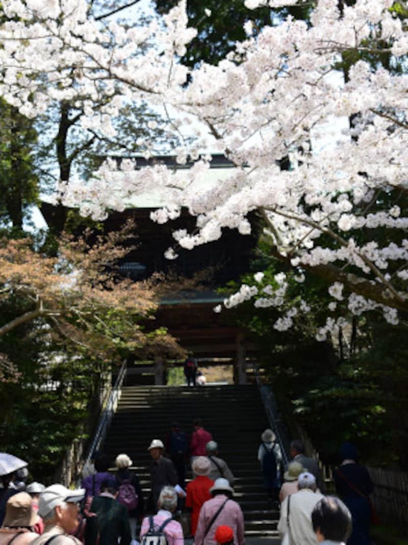 円覚寺門前の桜