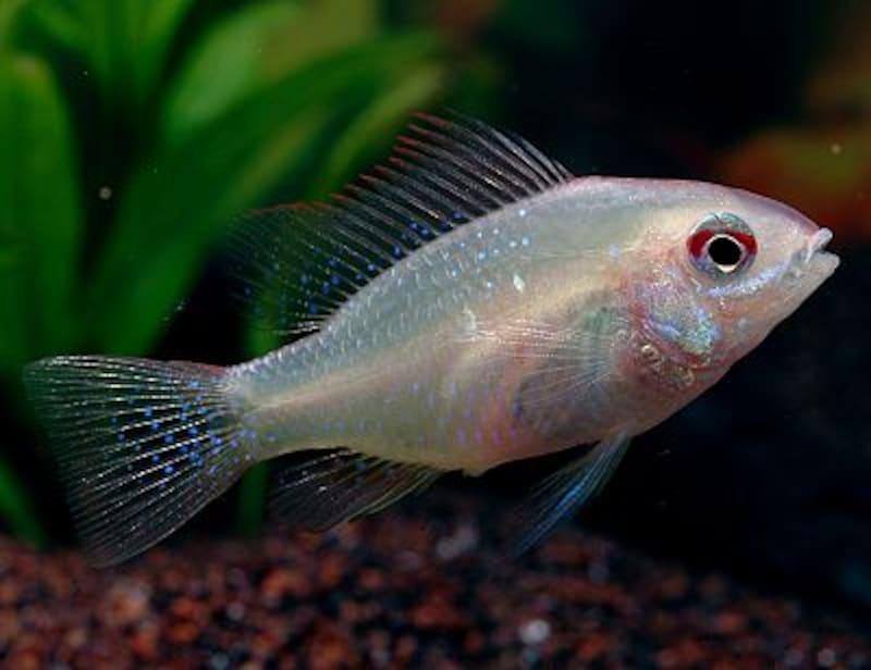 ミクロゲオファーガス・ラミレジー(ゴールデン) Mikrogeophagus ramirezi