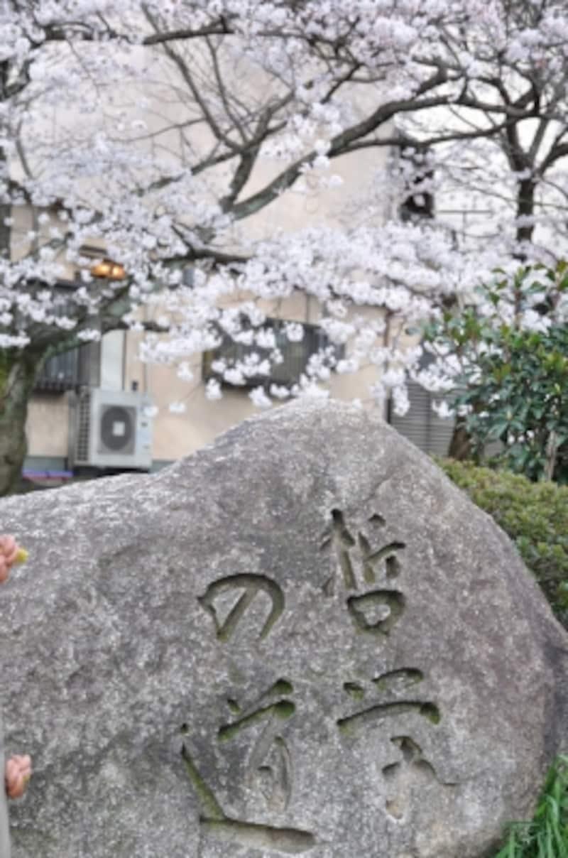 「哲学の道」の碑と桜
