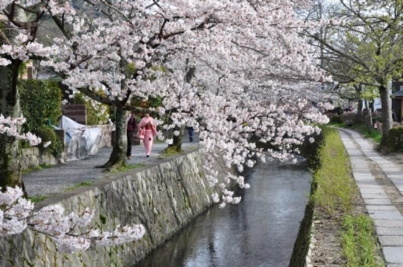 哲学の道の桜のトンネル