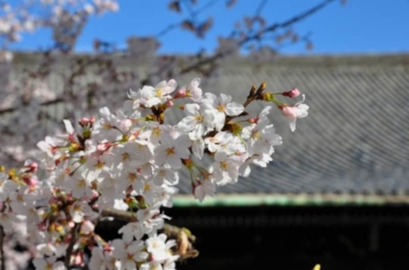 真如堂本堂と桜