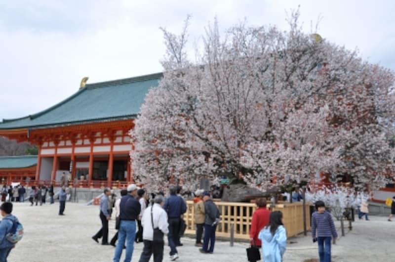左近の桜(平安神宮)
