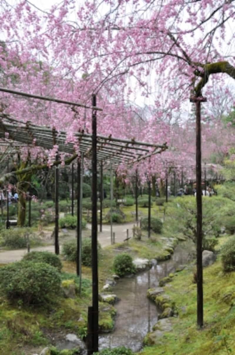 「平安の苑」とも呼ばれる南神苑の紅枝垂れ桜