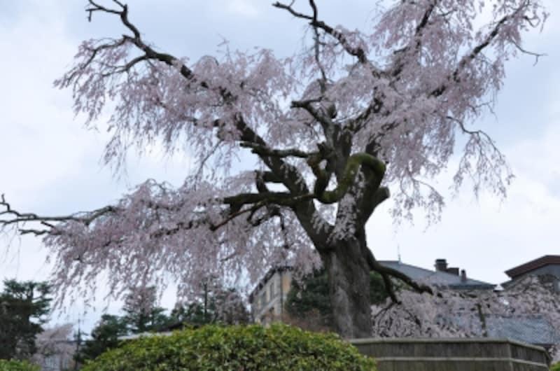 「祇園の夜桜」と呼ばれる枝垂れ桜の名木
