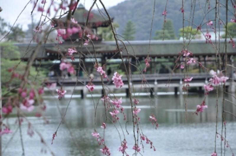 池を中心とした東神苑の桜