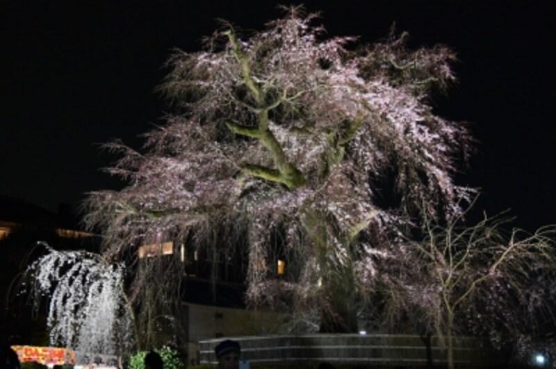 ライトアップされた「祗園の夜桜」